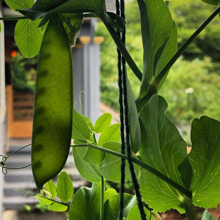Dekeling Porch Peas